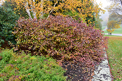 Bailey Red-Twig Dogwood (Cornus baileyi) at Wasson Nursery