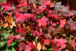 Redpointe Red Maple (Acer rubrum 'Redpointe') at Wasson Nursery