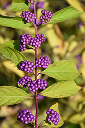Japanese Beautyberry (Callicarpa japonica) at Wasson Nursery