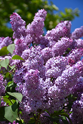Common Lilac (Syringa vulgaris) at Wasson Nursery