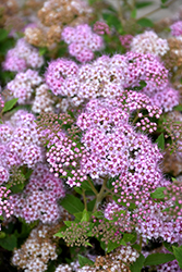 Little Princess Spirea (Spiraea japonica 'Little Princess') at Wasson Nursery