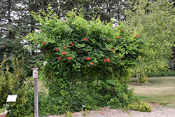 Atomic Red™ Trumpetvine (Campsis radicans 'Stromboli') at Wasson Nursery