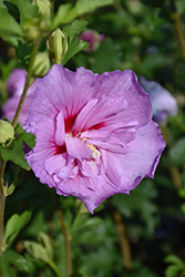 Lavender Chiffon Rose Of Sharon (Hibiscus syriacus 'Notwoodone') at Wasson Nursery
