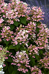 Quick Fire® Hydrangea (Hydrangea paniculata 'Bulk') at Wasson Nursery