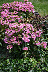 Pardon My Pink Beebalm (Monarda didyma 'Pardon My Pink') at Wasson Nursery