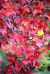 Red Maple (Acer rubrum) at Wasson Nursery