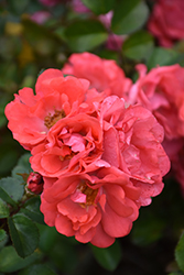 Coral Drift® Rose (Rosa 'Meidrifora') at Wasson Nursery